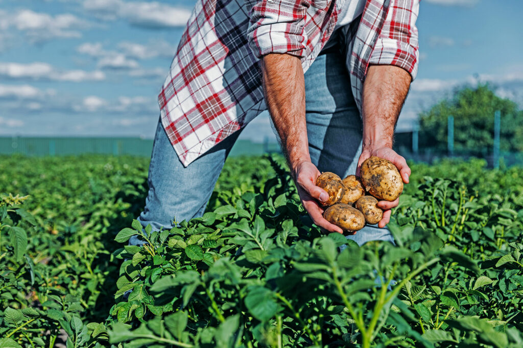 Man Holding Potatoes in Field